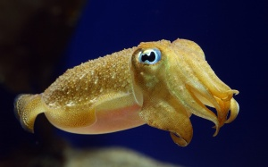 THIS is a cuttlefish! It IS NOT SEXY.